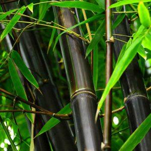 Commercial Bamboo Farming | Call (877) 340- 6755