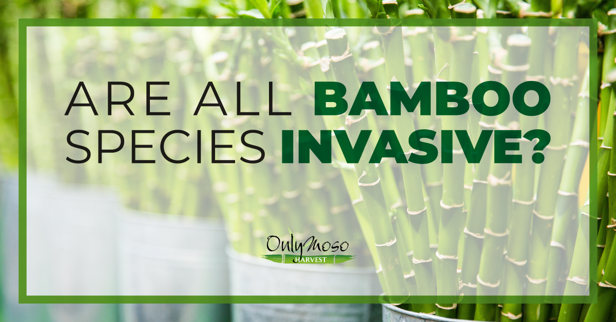 Is Bamboo Invasive? | OnlyMoso USA | (877) 340- 6755