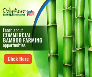 News - Growing A Bamboo Farm, How To Plant Black Bamboo